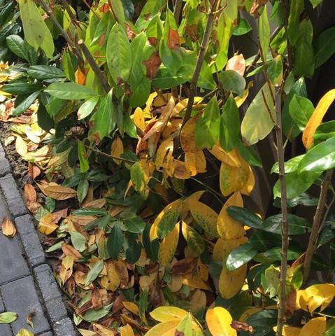 Kirschlorbeer Bekommt Gelbe Blätter kirschlorbeer kaputt garten pflanzen beet