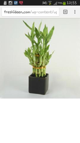 Diese Bambuspflanze in kleiner Ausführung zum Geburtstag meiner Mutter - (Kosten, Pflanzen)