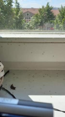 Kleine braune Fliegen auf Fensterbank, was tun?