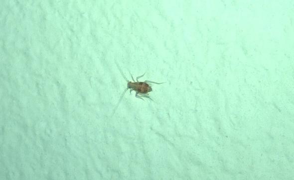 vergößertes bild, insekt ca. 0,3 mm groß. - (Insekten, Schlafzimmer)