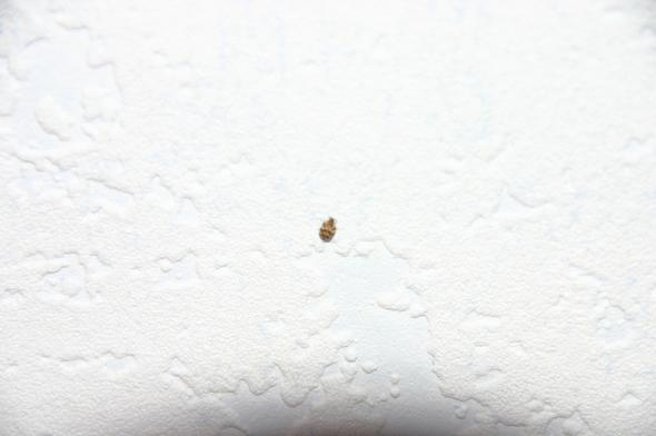 Kleine Käfer An Der Wand, Hilfe!! (Tiere, Klein, Kleintiere