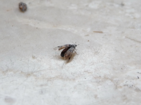 kleine Käfer auf der Fensterbank (Ungeziefer)