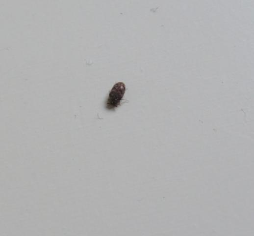 Kleine schwarz braune k fer in der wohnung ungeziefer for Kleine schwarze fliegen blumenerde