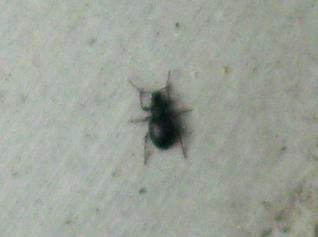 'Kleine schwarze Käfer' ... hier einer von GAAANZ vielen - welche ist es?