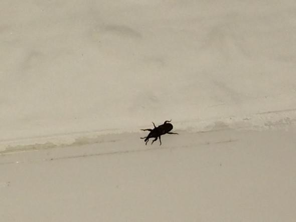 Kleine schwarze Käfer  - (Garten, Insekten, Käfer)