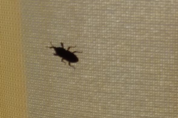 so sehen die aus - (Kaefer, Rüsselkäfer, kleine schwarze käfer)