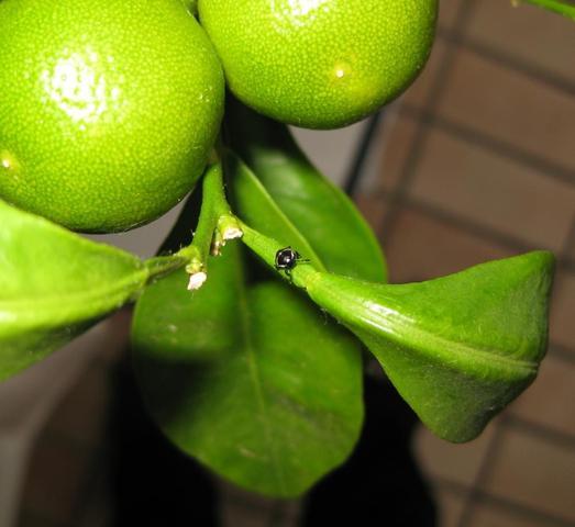 Käfer_2 - (Biologie, Insekten, Eier)