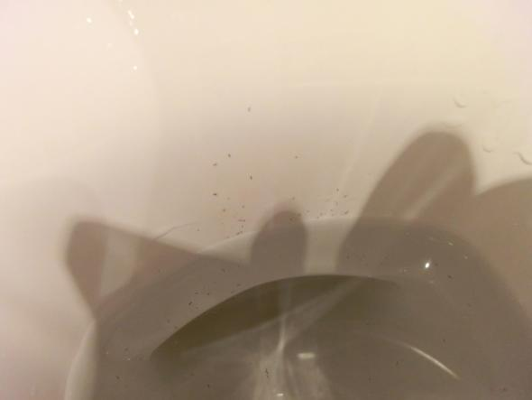 Schwarze würmer in toilette