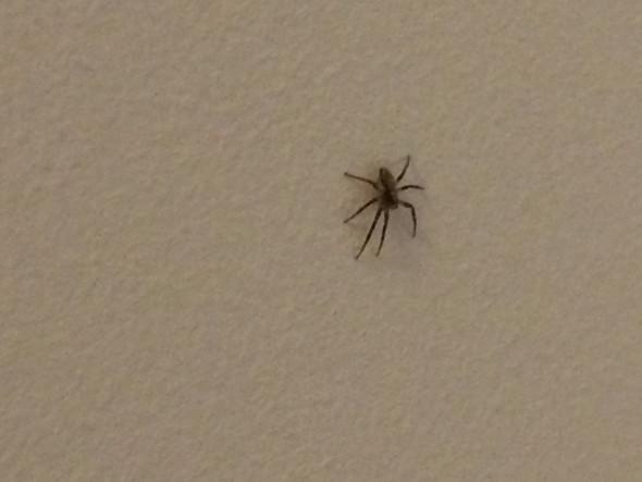 kleine spinne im zimmer haus