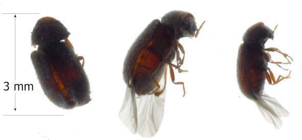 unbekanntes Insekt - (Biologie, Insekten, Kaefer)