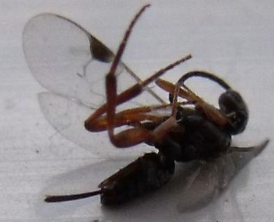 kleines schwarzes insekt was ist das mit bild insekten schwarz stachel. Black Bedroom Furniture Sets. Home Design Ideas