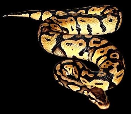 königspython - (Haustiere, Schlangen, 6 jahre)