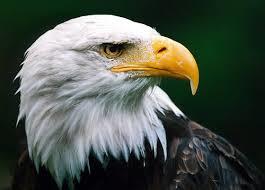 Adler Schnabel - (Adler, schnabel)