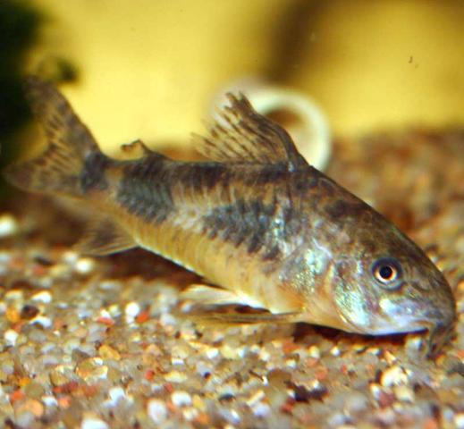Wels - (Fische, Aquarium, übergewicht)