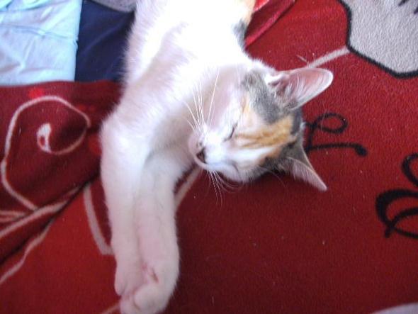 Lila 9 Monate - (Katze, scheinträchtig)