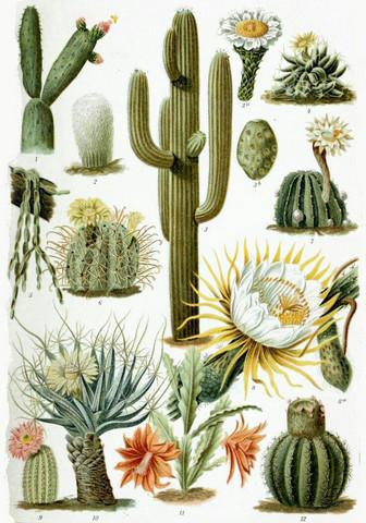- (Name, kaktus, Kakteen)