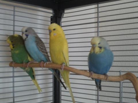 Grün, hellblau, gelbes Männchen, dunkelblau - (Wellensittich, Farbschläge)