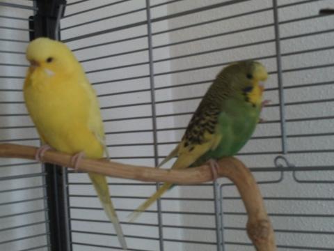 Gelbes Weibchen , grün - (Wellensittich, Farbschläge)