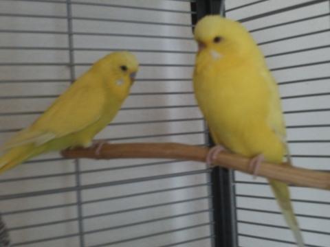 Gelbes Männchen, Gelbes Weibchen - (Wellensittich, Farbschläge)