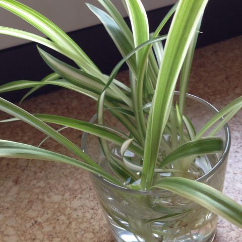 Das sind die Ableger im Glas  - (Pflanzen, Art, Pflanzenbestimmung)