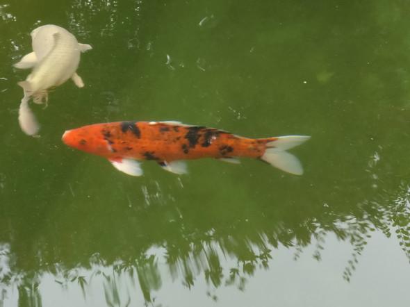 - (Haustiere, Fische, Teich)