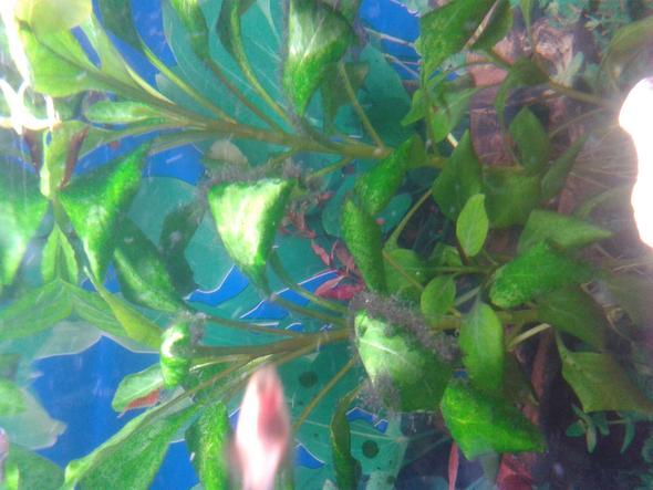 komische b schel was ist das pflanzen aquarium. Black Bedroom Furniture Sets. Home Design Ideas