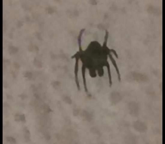 Komische Spinne/Käfer im Haus?