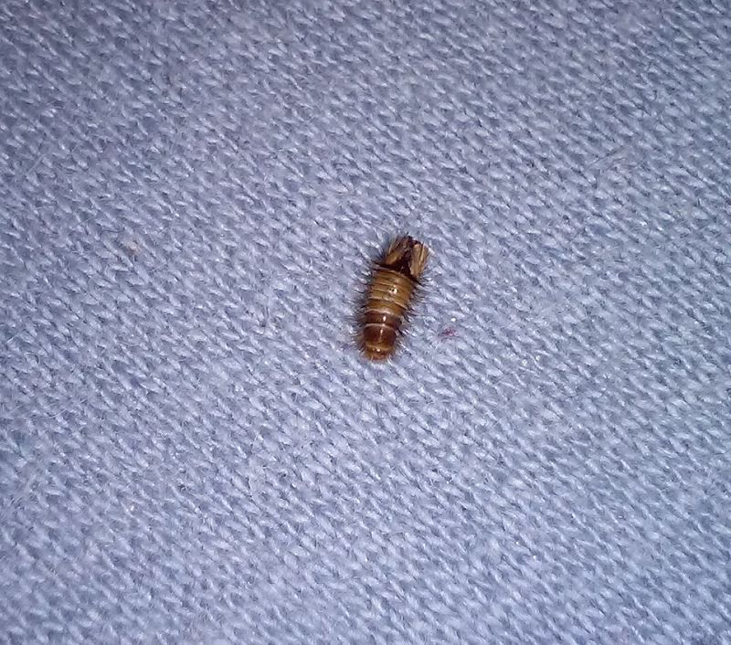 Komisches insekt im schlafzimmer raupe tiere insekten - Insekten im zimmer was tun ...