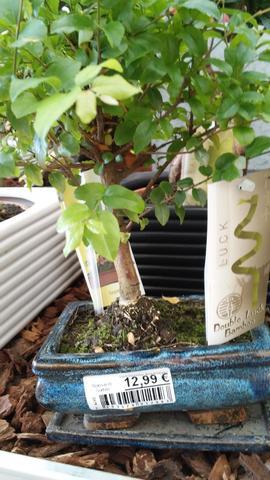 Bonsai Nr 1 - (Garten, Pflanzen, Natur)