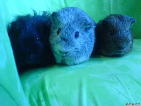 Bob, Keigo und Nobu - (Haustiere, Meerschweinchen, Krallenpflege)
