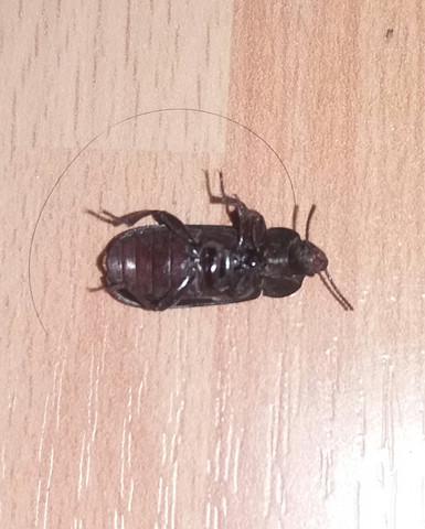 Kuchenschabe Oder Doch Anderes Tier Insekten Kafer Kakerlaken