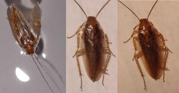 3 Fotos--- die selbe Schabe - (Tiere, Haushalt, Insekten)