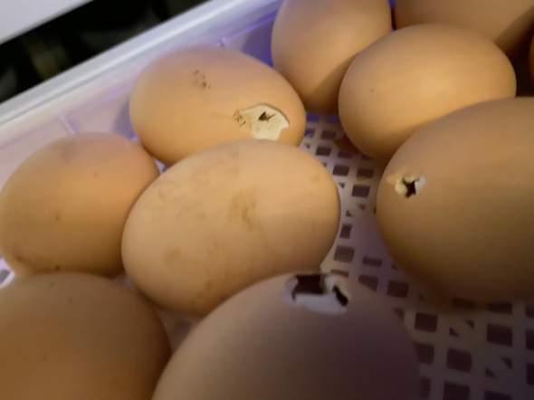 Küken haben Ei angepickt aber nicht geschlüpft?