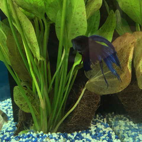 Kampfisch - (Fische, Aquarium, Aquaristik)