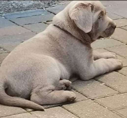Labrador mit Lefzen?