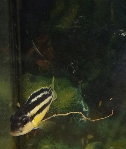 barsch - (Fische, Aquarium, Barsche)