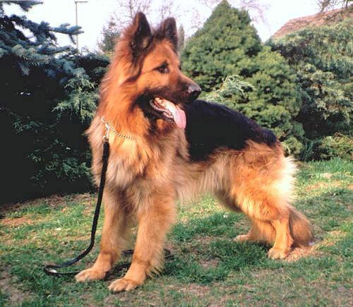Langhaar - (Hund, Schäferhund)