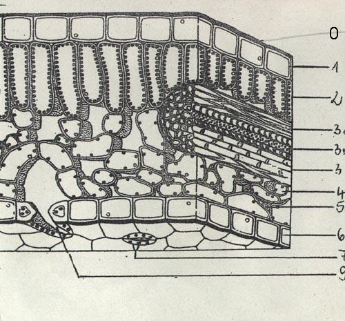 Laubblatt Querschnitt - (Bau, laubblatt)