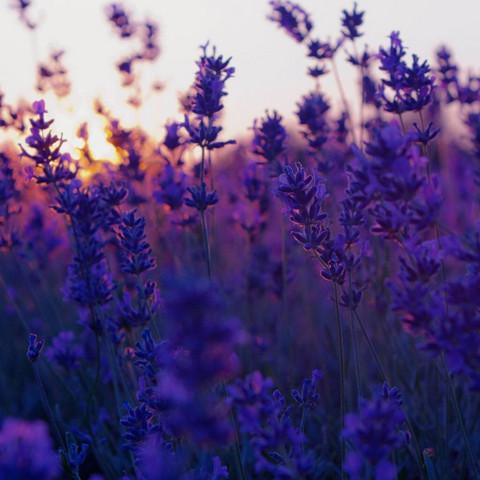 Lavendel  - (Gesundheit, Pflanzen, Blumen)