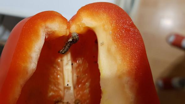 Paprika - (Gemüse, Ungeziefer)