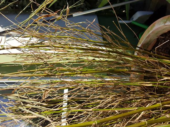 - (Garten, frost, Bambus)