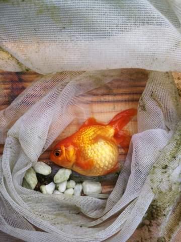 Leidet dieser Fisch an Bauchwassersucht?