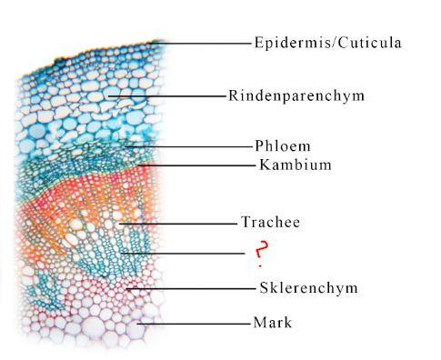 Leitbündel - (Biologie, Botanik, leitbuendel)