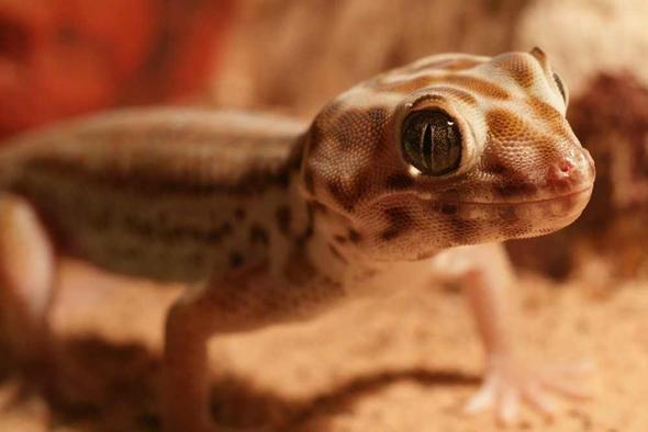 Wundergecko