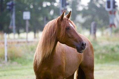 ... - (Pferde, reiten, Rasse)