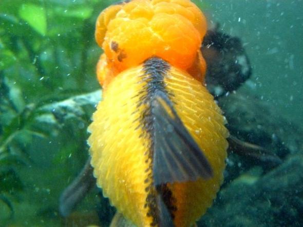 L wenkopfschleierschwanz erkrankt aufgebl ht aquarium for Aquarium goldfische
