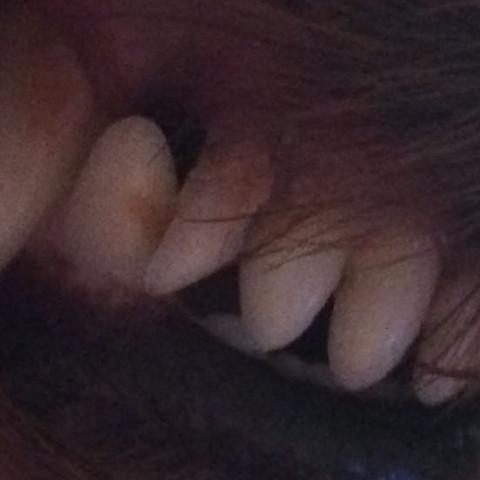 Der Zahn - (Hund, lockerer Zahn)