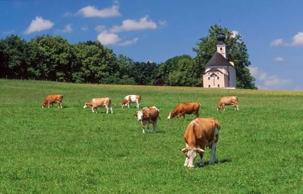 Magst bzgl. liebst du Kühe & Kirchen Glocken geräusche?