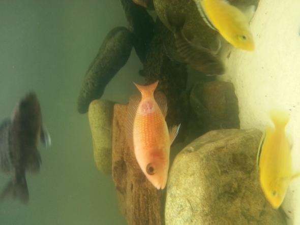so sieht der Fisch jetzt aus - (Krankheit, Fische, Aquarium)