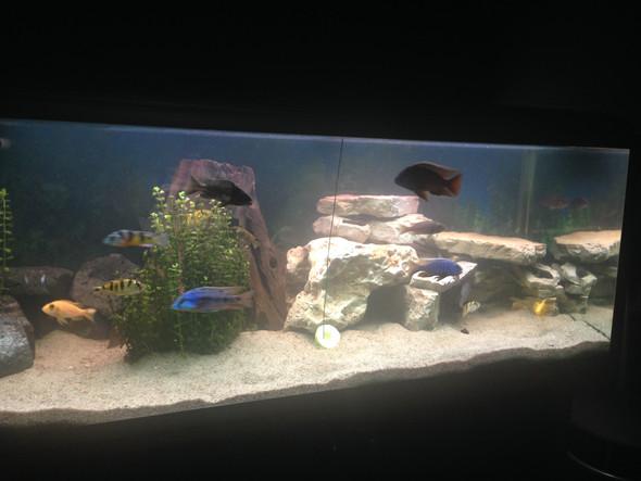 Hier ein Bild vom ganzen Aquarium. - (Fische, Aquaristik, Malawi)